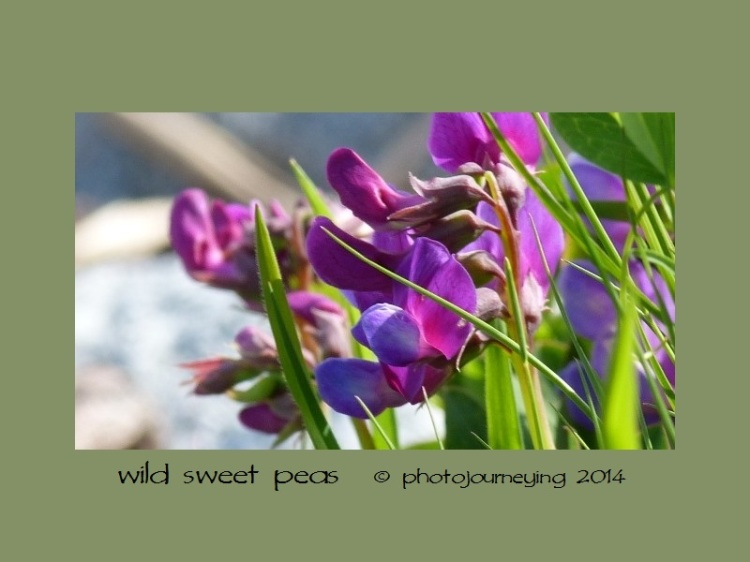 04 wild sweet peas